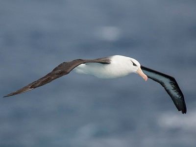 Black-browed Albatross, Drakes Passage, Southern Ocean, February 2007