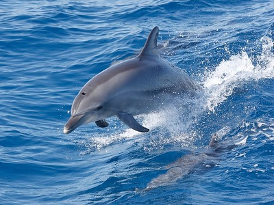 Bottlenose Dolphin, Hervey Bay, Australia, August 2007