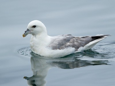 Northern Fulmar, Akureyri, Iceland, August 2016