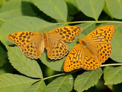 Silver-washed Fritillary, Gamlingay, Bedfordshire, UK, July 2011