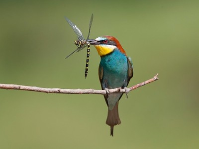 Bee Eater, Gabarevo, Bulgaria, June 2012