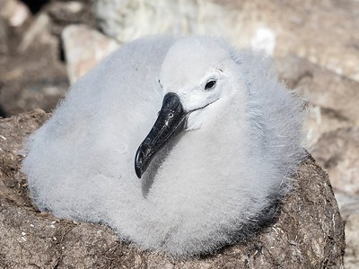 Black-browed Albatross, West Point Island, Falkland Islands, February 2018