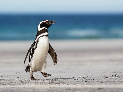 Magellanic Penguin, Saunders Island, Falkland Islands, February 2018