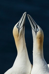 Northern Gannet, Bass Rock, Scotland, UK, June 2011