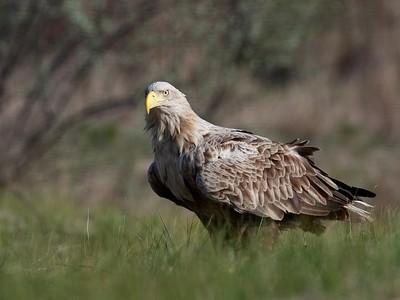 White-tailed Eagle, Ultima Frontiera, Romania, April 2017