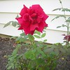 Mom's favorite rose by the porch