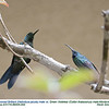Green-crowned Brilliant-Green Violetear A86005-4