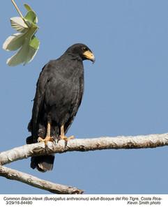 Common Black-Hawk A84480