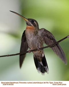 Band-tailed Barbthroat A84355
