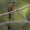 Turquoise-browed Motmot A84972