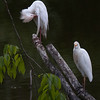 Cattle Egrets A87843