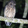 Mottled Owl A86076