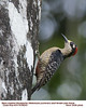 Black-cheeked Woodpecker F86243