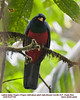 Lattice-tailed Trogon M87729