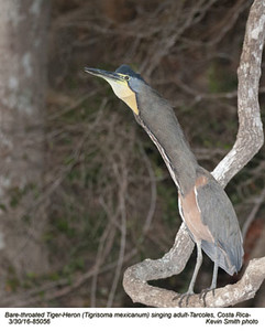 Bare-throated Tiger-Heron A85956