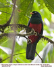 Lattice-tailed Trogon M87734