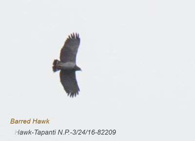 Barred Hawk 82209