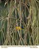 Yellow-throated Euphonia M86191