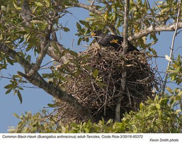 Common Black-Hawk A85372