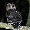 Mottled Owl A86069