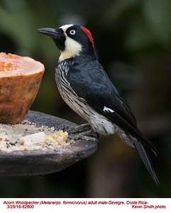 Acorn Woodpecker M82800