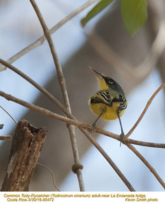 Common Tody-Flycatcher A85472