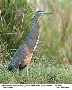 Bare-throated Tiger-Heron A85968