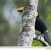 Yellow-throated Toucan A83855