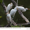 Cattle Egrets A87820