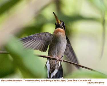 Band-tailed Barbthroat A84303