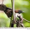 Black-throated Wren A88271