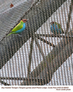 Bay-headed Tanager A88855
