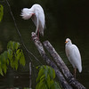 Cattle Egrets A87842
