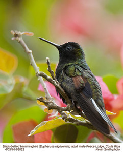 Black-bellied Hummingird M88822