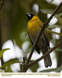 Black-faced Grosbeak A87763