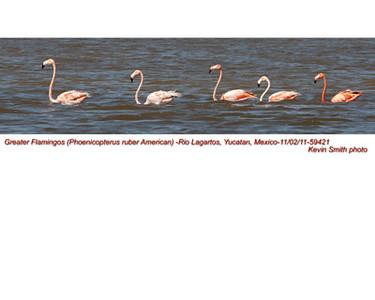 AmericanFlamingos59421