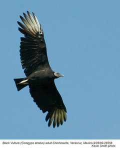 BlackVulture28558 copy