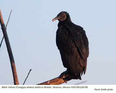 BlackVulture29196 copy