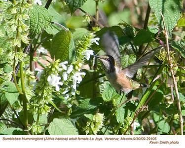BumblebeeHummingbirdF29105 copy