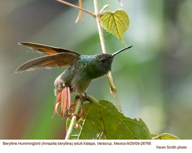 BeryllineHummingbirdA28766 copy