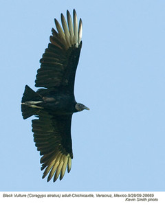 BlackVulture28669 copy