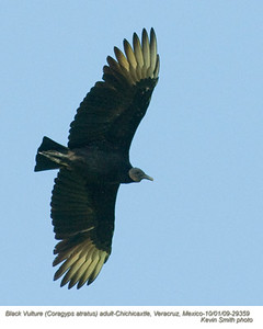 BlackVultureA29359 copy
