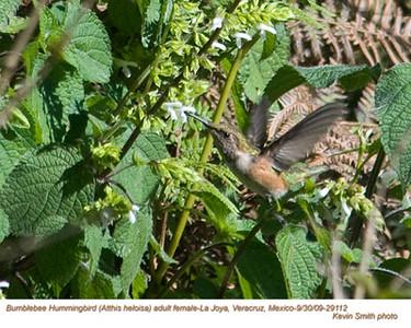 BumblebeeHummingbirdF29112 copy