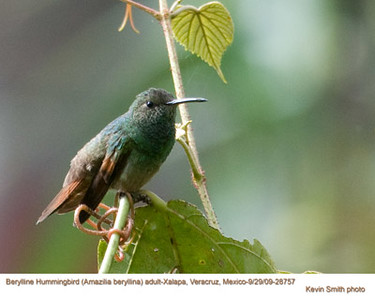 BeryllineHummingbirdA28757 copy
