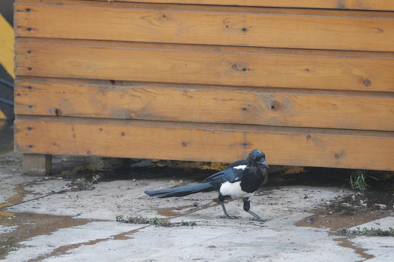 Black-billed Magpie-Pica pica