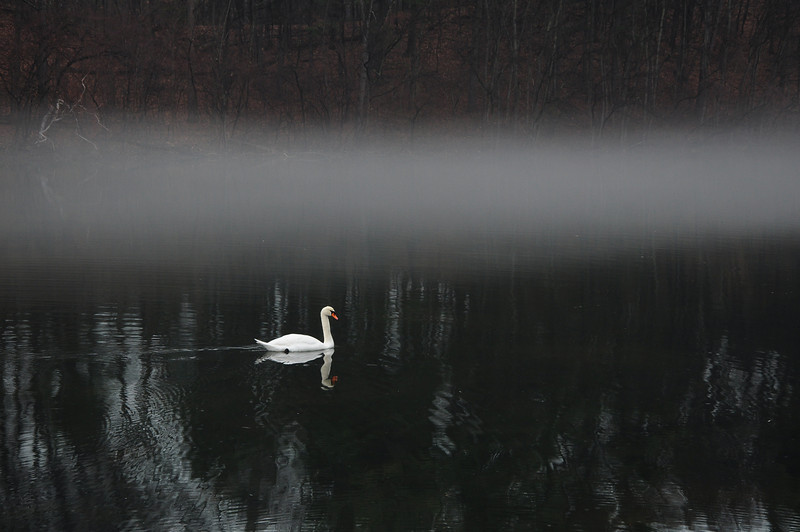 A swan glides by at Durand Eastman Park, Rochester.