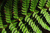 Letchworth fern DSC_3419