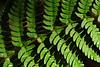 Letchworth fern DSC_3419