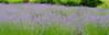 Lavender Crest 070813 3 DSC_9635