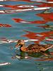 Kaleidoscope duck, Canandaigua NY.